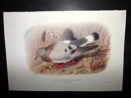 Baker & Gronvold Indian Pigeons & Doves 1913 Bird Print. Blue Hill-Pigeon